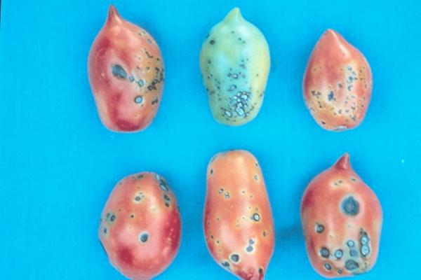 альтернариоз томатов фото лечение